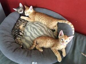 *** Superbes chatons Bengals x Siamois - 2 mâles ***