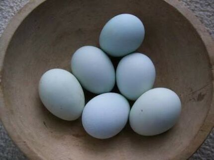 Fertile Aracauna Eggs