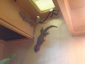 Couple  gecko tokay