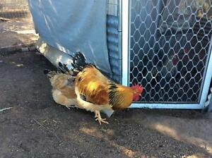 Buff Sussex Rooster Inverell Inverell Area Preview