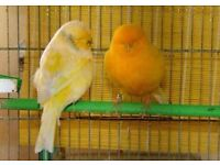 Norwich pair of canaries. Excellent breed, fit and healthy. 2017 birds.