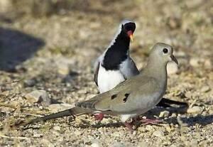 Masked Doves Trott Park Marion Area Preview