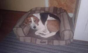 "Adult Female Dog - Hound: ""Cossie"""