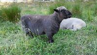 Babydoll Southdown Ram, 2 yrs old, seeking greener pastures