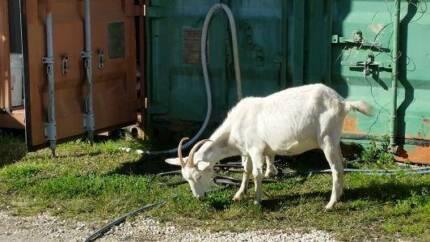 Goat to good home Leichhardt Leichhardt Area Preview