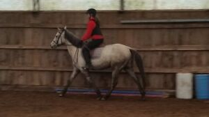 fancy qh/tb gelding broke to ride