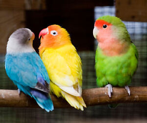 ❤♥☆♥ Love bird ♥ Babies with Cage and Food ♥☆♥❤