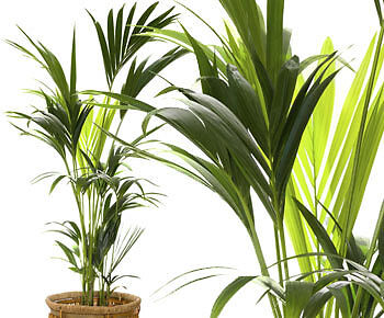 Nahezu unsterblich: die Kentia-Palme. (Copyright: Thinkstock/ über The Digitale)