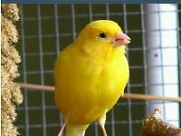 .Canarys