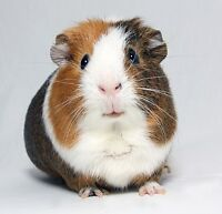 PET SITTING GUINEA PIG - ALL INCLUDED
