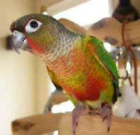 Baby Yellow Sided Conure