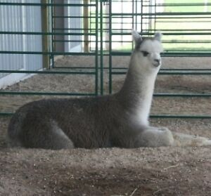 Thinking about alpacas?