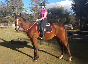 6yr old tb gelding 16.3hh Wattle Camp South Burnett Area Preview