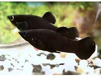 fish black Mollie £1.50