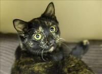 "Young Female Cat - Domestic Short Hair: ""Pebble"""