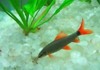 Red tail shark 15$