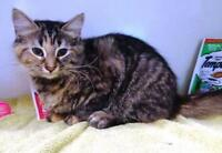 "Young Female Cat - Bengal-Tabby - Brown: ""Havana"" Ottawa Ottawa / Gatineau Area Preview"