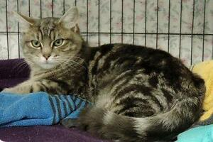 "Young Male Cat - Domestic Short Hair: ""Pablo"""