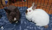 "Adult Male Rabbit - Bunny Rabbit: ""Bruno and Boop"""