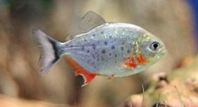 3 Red Belly Piranha Live Freshwater Aquarium Fish