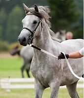 2008 papered and imported large pony. Perfect for any discipline
