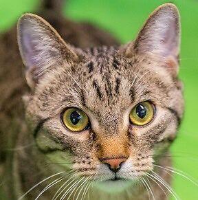 MEOW Foundation's Tween Kitten Chickpea Seeks Fun Family