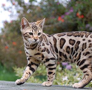 Bengal kitten wanted