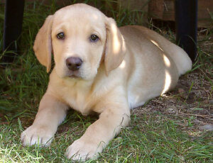 LOOKING FOR PUPPY!! London Ontario image 1