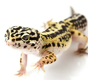Looking for a leopard gecko