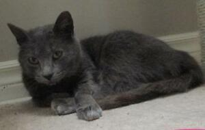 "Adult Female Cat - Domestic Short Hair-gray: ""Annabelle"" London Ontario image 1"