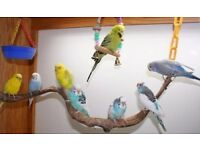 Budgies and other breed birds for sale
