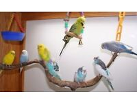 Colourful budgies and others