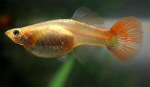 Guppies For Sale!!!!