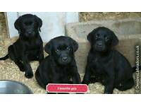 🐾 Kc registered labrador pups 🐾