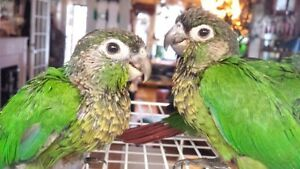 Hand Fed and Super Tamed baby Green Cheek Conure