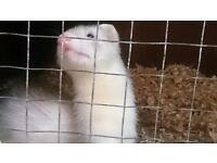 Male ferrets for sale