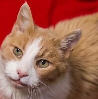 "Senior Male Cat - Domestic Medium Hair: ""Renegade"""