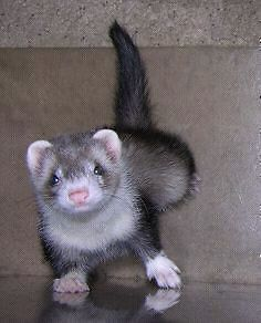 WANTED: ferret, under 6 months Ourimbah Wyong Area Preview