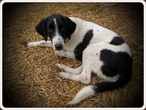 """Available for adoption Young Pointer Mix """"Jack"""""""