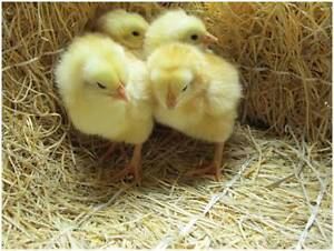 Light Sussex chicks for sale. Only 1 left. Palmwoods Maroochydore Area Preview