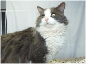 Adult Male  - Domestic Short Hair-Domestic Short Hair