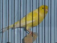 Singing Canaries