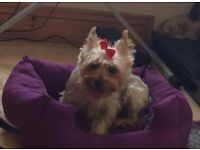 Yorkie Yorkshire terrier t cup