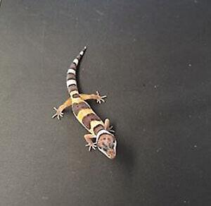 gecko léopard high yellow, lezard, reptile