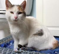 """Young Female Cat - Domestic Short Hair: """"Asta"""""""