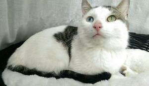 """Adult Male Cat - Domestic Short Hair: """"Clover"""""""