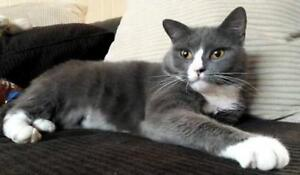 "Adult Female Cat - Domestic Short Hair - gray and white: ""Lucky"""