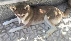 "Young Female Dog - Husky: ""AMY"""