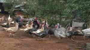 Young Turkey's For Sale Munno Para West Playford Area Preview