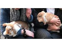 Two Rabbits (lops) + hutch, food, hay, bedding